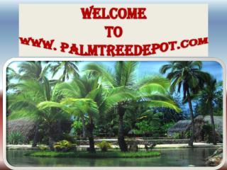 Sabal Palms for Sale in Carolina.pdf